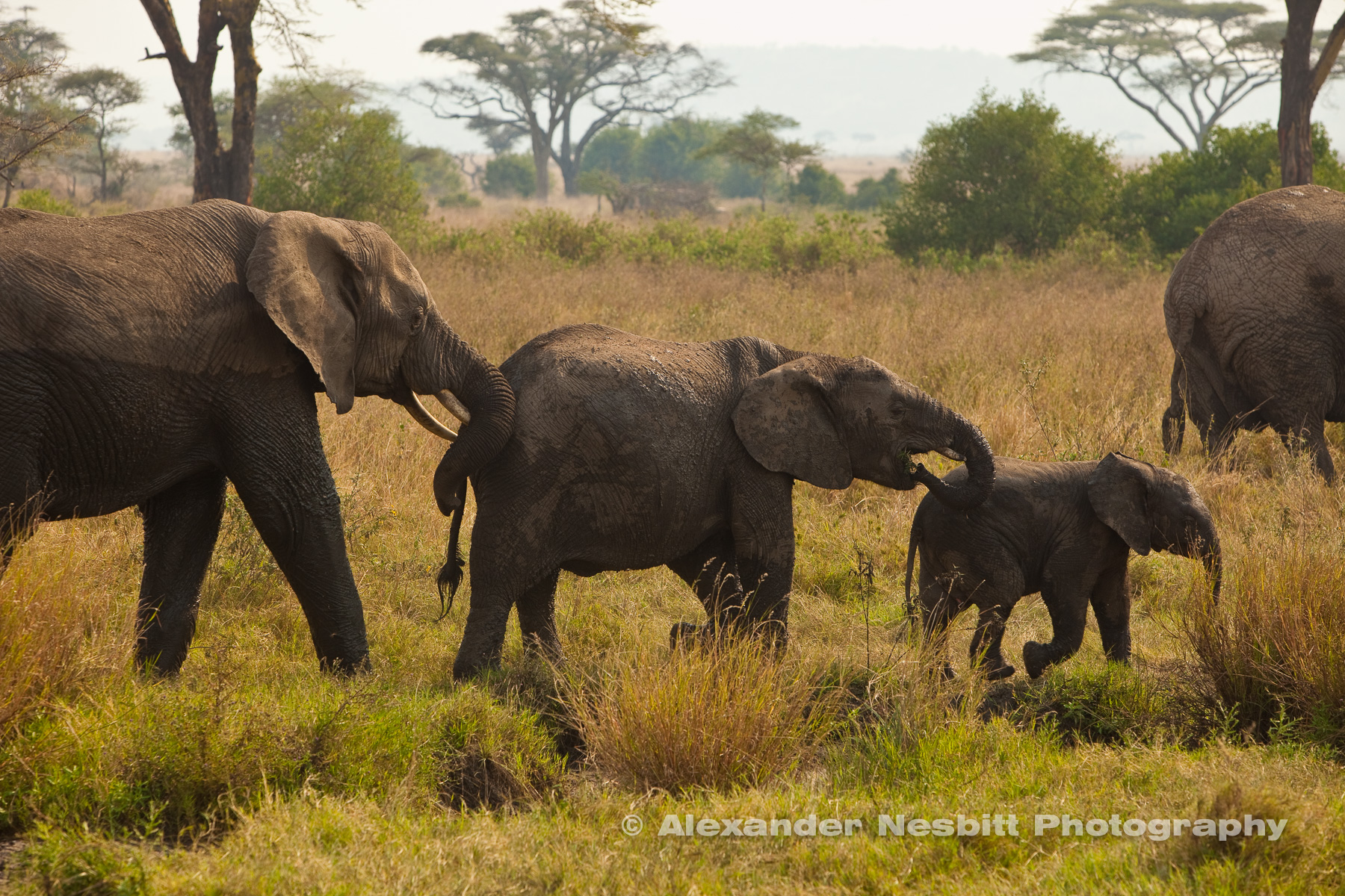 Elephant Family walking in line -  small to big
