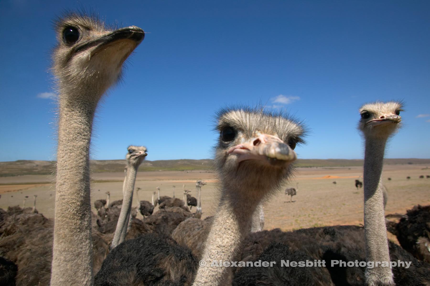 Ostrichs eyeball the camara