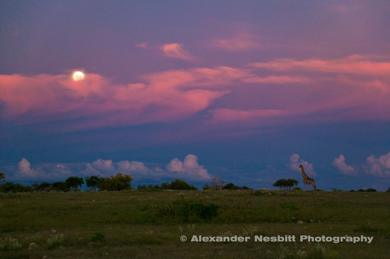 A lone Giraffe in the moon rise