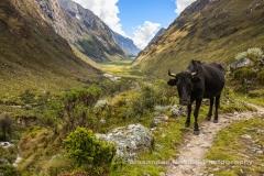 A bull blocks the path
