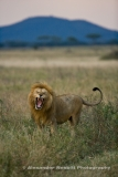 Lion Yawning for the Camera