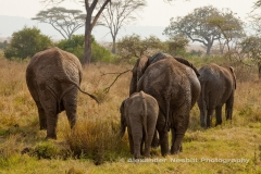 Elephant Family - just the butts
