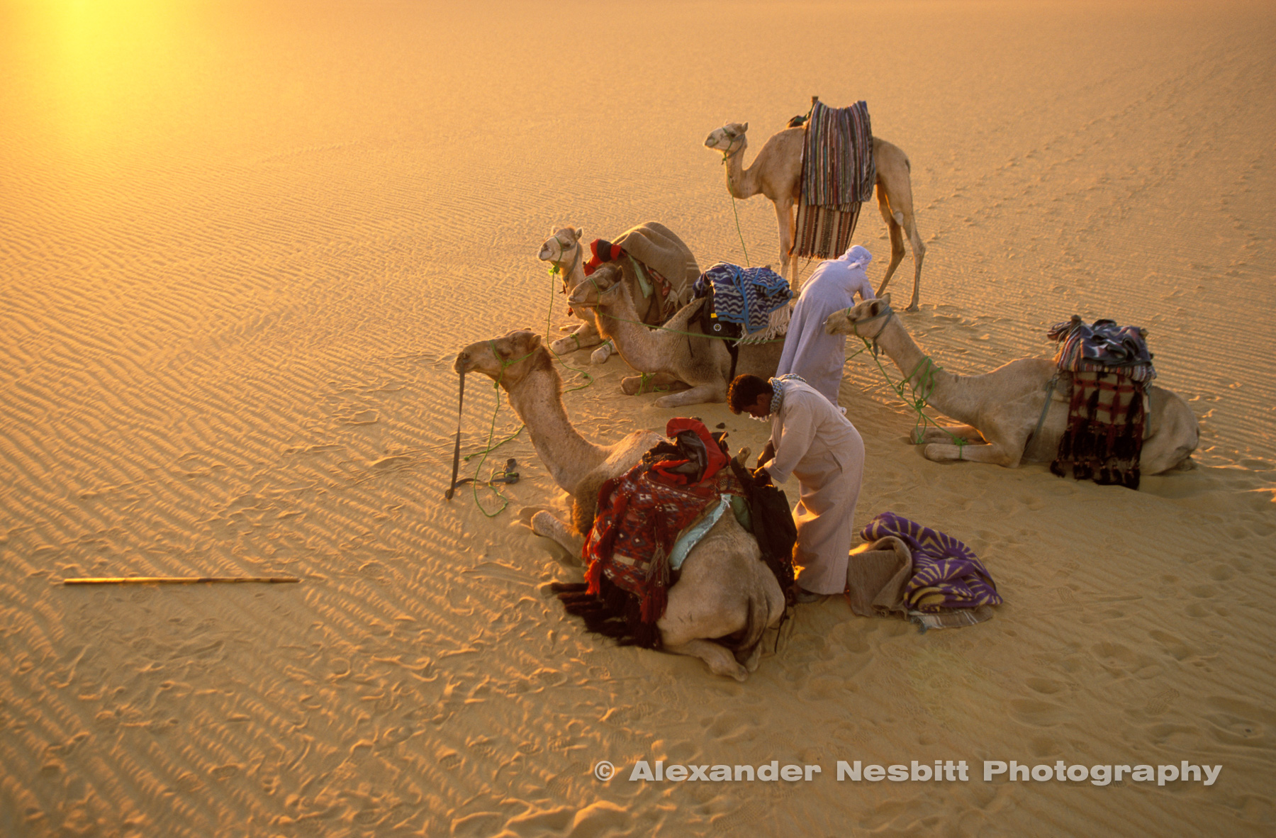 Bedouin guides unpack supplies from exhausted camels, camel trek, Egyptian Western desert.