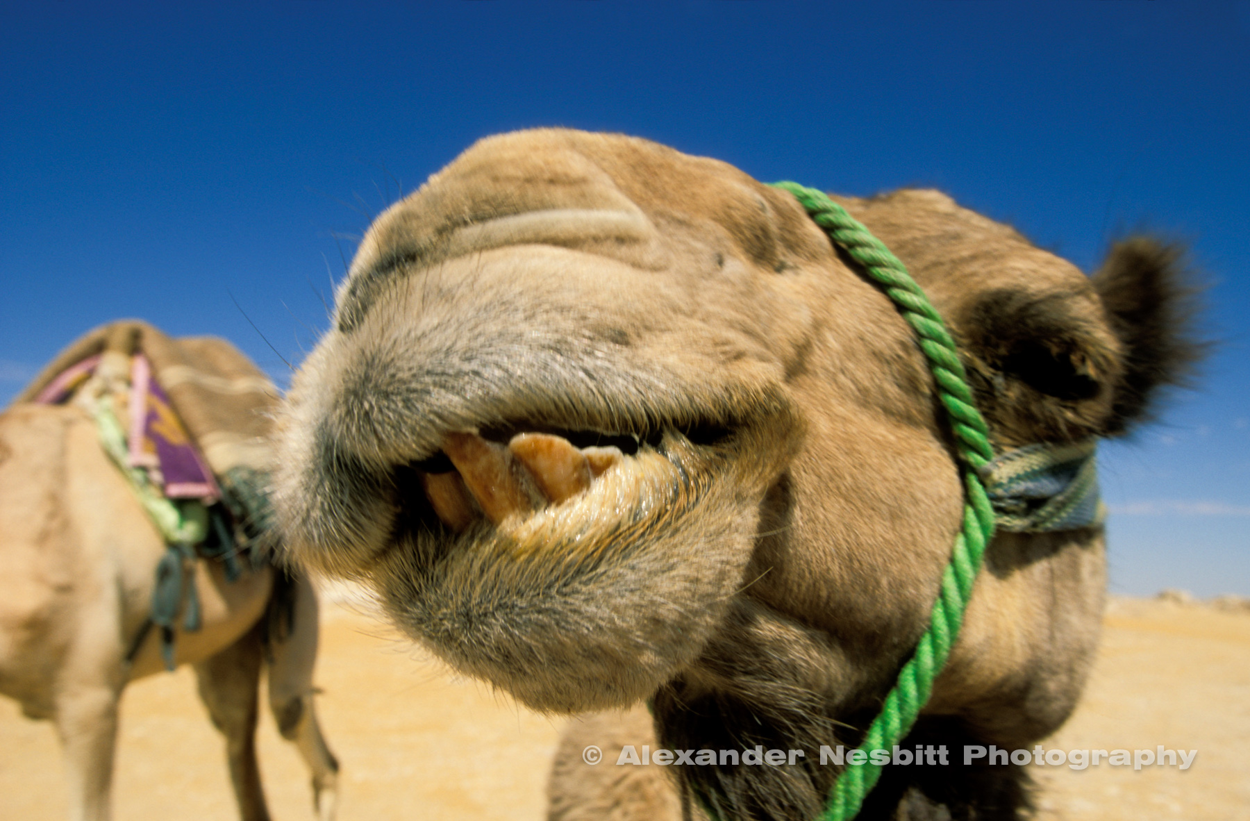 Camel face super close up on desert camel trek.