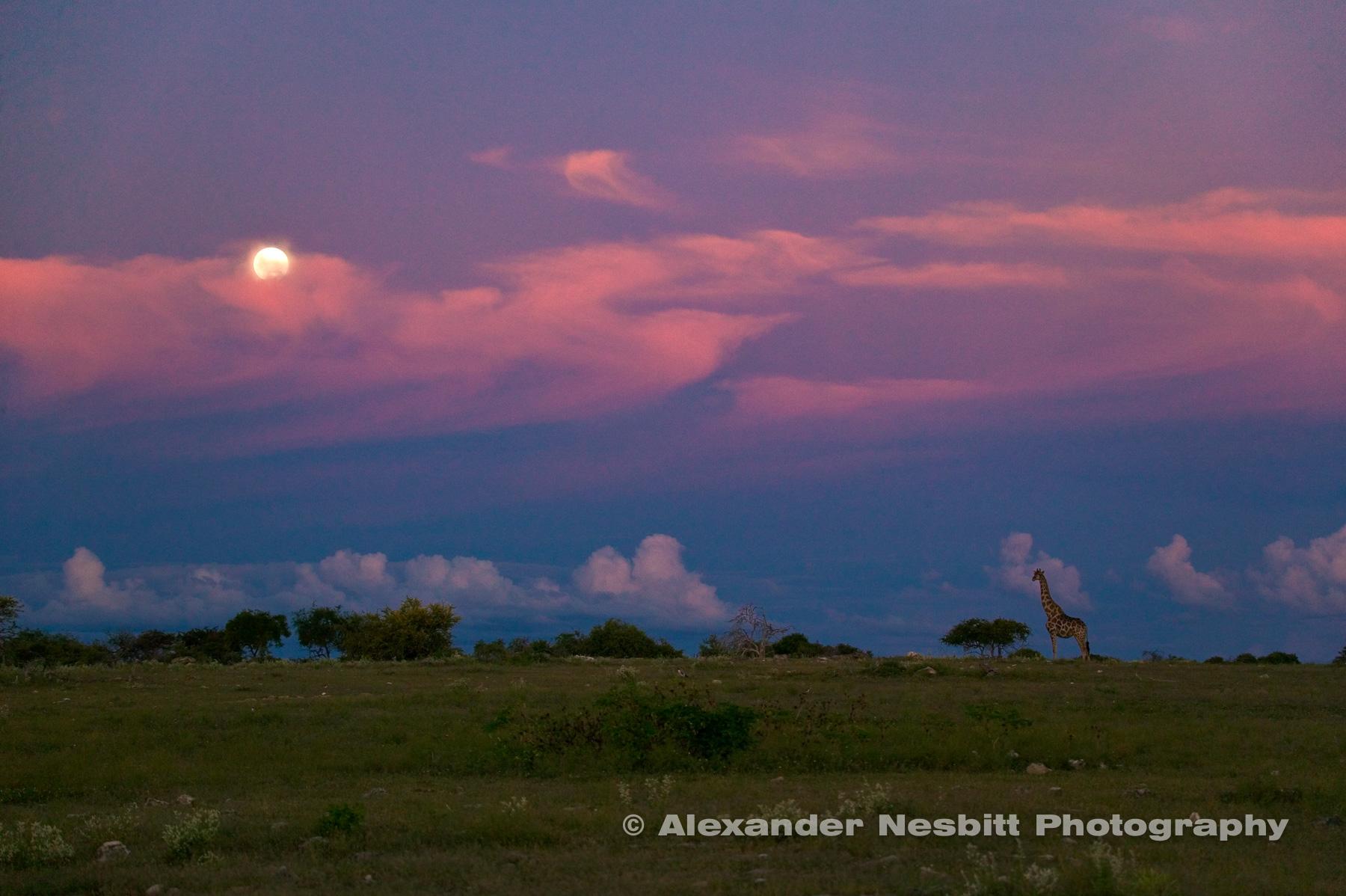 A lone Giraffe in the moon rise