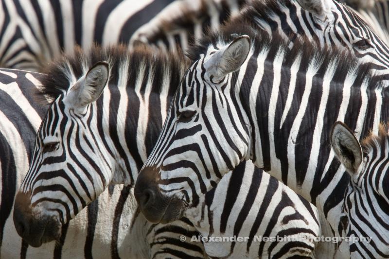 Zebras, Ngorongoro Park