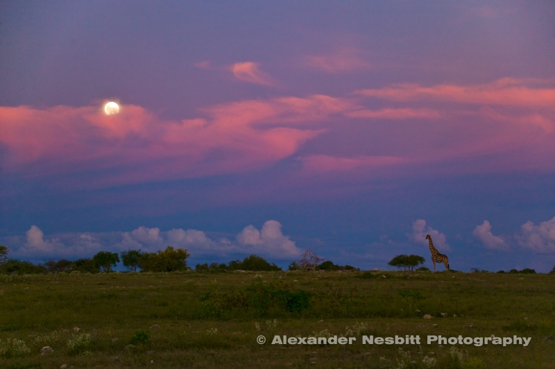Namibia, Etosha Park 2004 - A lone giraffe stands in the African savanna backed by the setting sun and pink clouds.